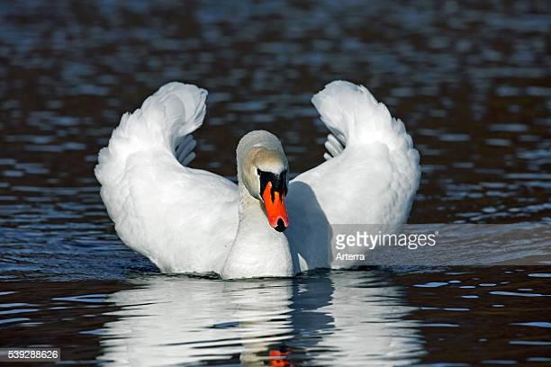 Mute swan on lake showing busking threat display, Germany.