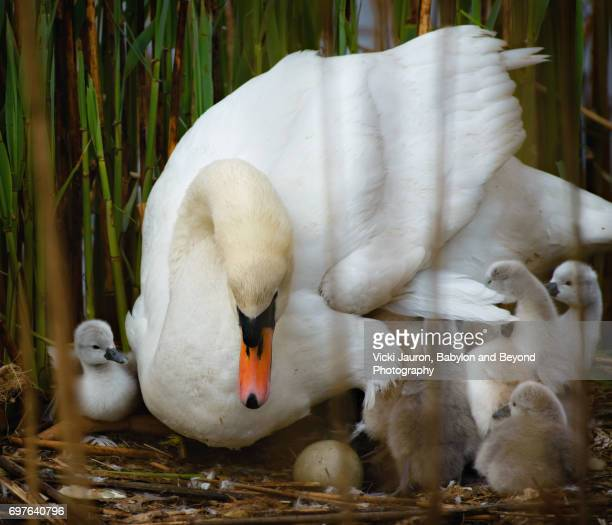 Mute Swan on Nest with Cygnets Gathered Around Her