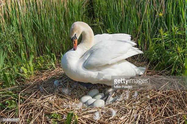 mute swan on nest with eggs - dierennest stockfoto's en -beelden