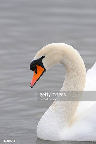 mute swan (cygnus olor) - vista lateral stock pictures, royalty-free photos & images