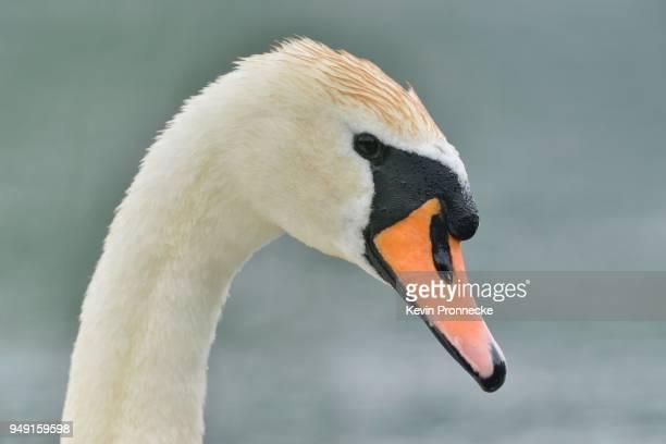 mute swan (cygnus olor) portrait, saxony, germany - lugar histórico imagens e fotografias de stock