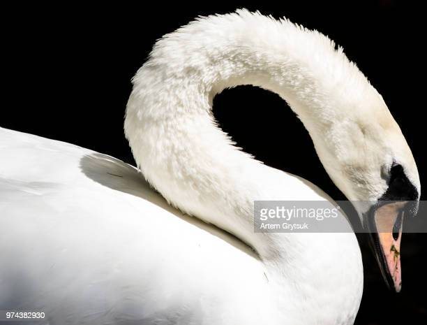 mute swan (cygnus olor) side view - swan stock pictures, royalty-free photos & images