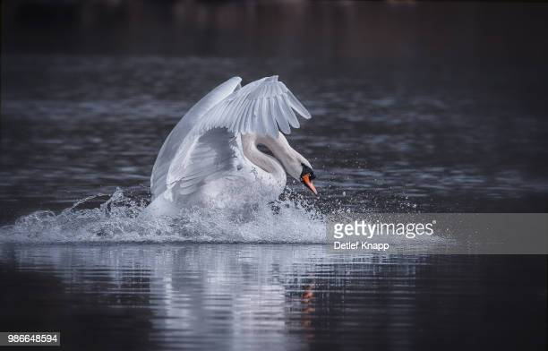 a mute swan swimming on a lake. - swan stock pictures, royalty-free photos & images