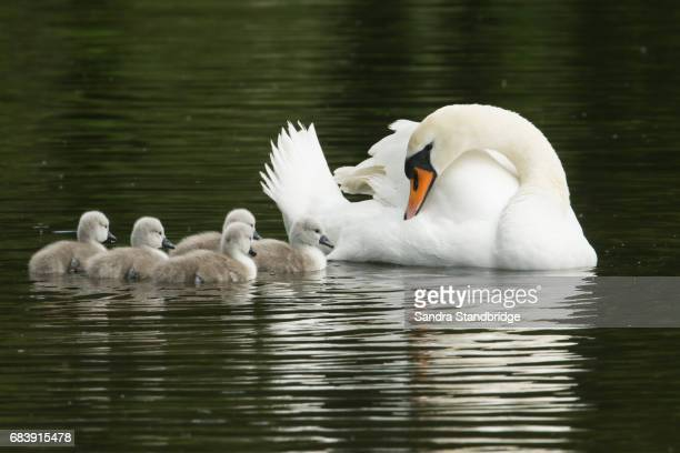 A Mute Swan (Cygnus olor) swimming on a river with her newly hatched cute Cygnets.