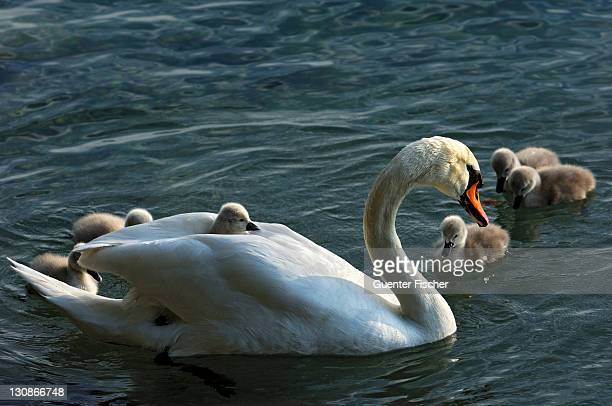 mute swan (cygnus olor) with chicks, cygnets - vista lateral stock pictures, royalty-free photos & images