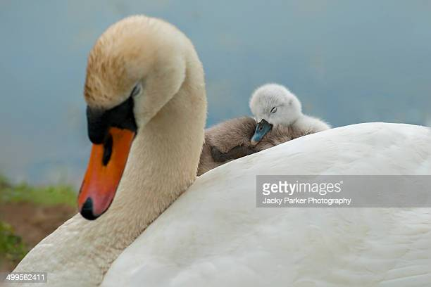 Mute Swan with Cygnet on her back