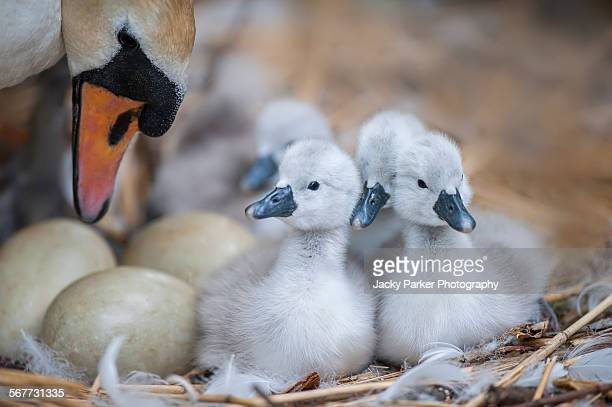 mute swan with cygnets and eggs - hatching stock pictures, royalty-free photos & images