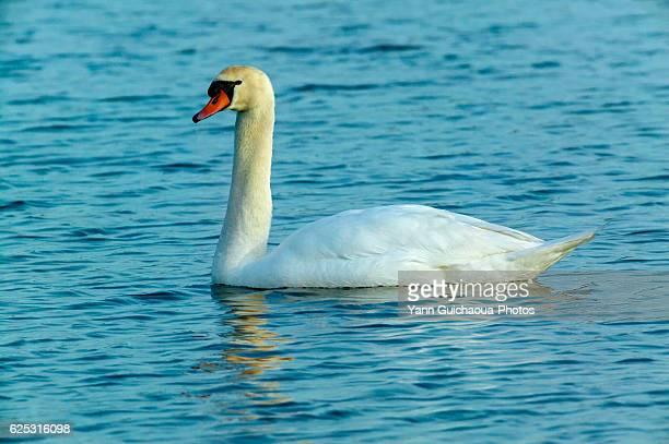 Mute Swan,Cygnus olor, Camargue,France