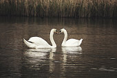 Mute Swans courtship behaviour