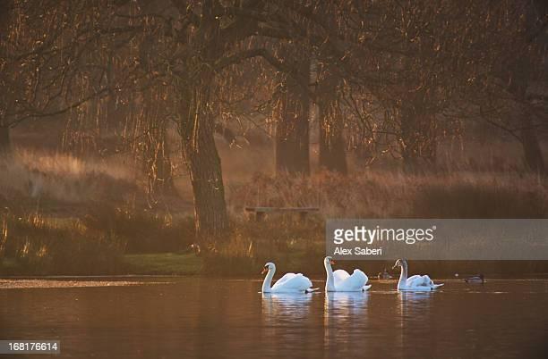 mute swans, cygnus olor, swimming in a pond in winter. - alex saberi photos et images de collection