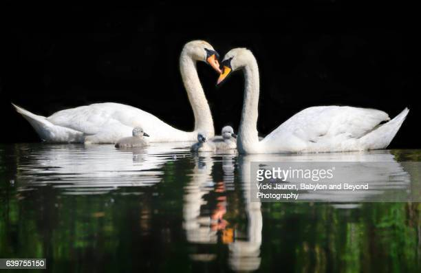 Mute Swans (Cygnus Olor) Facing Each other with Cygnets Between