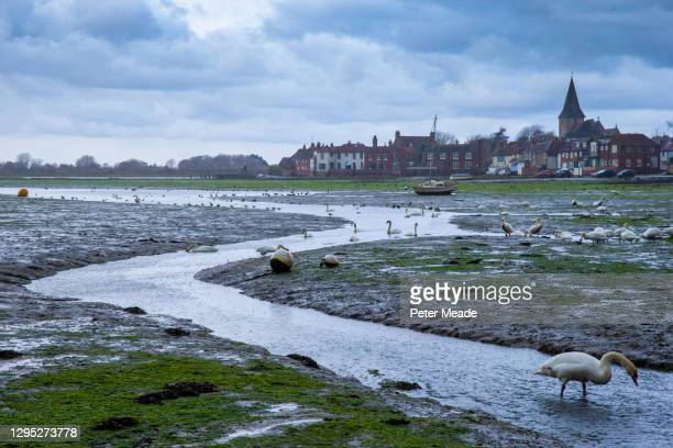 mute swans feeding under winter skies during the low tide at bosham - chichester stock pictures, royalty-free photos & images