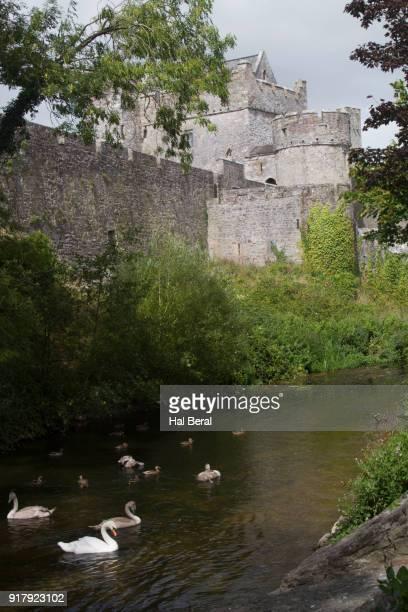 Mute Swans on the River Suir below Cahir Castle