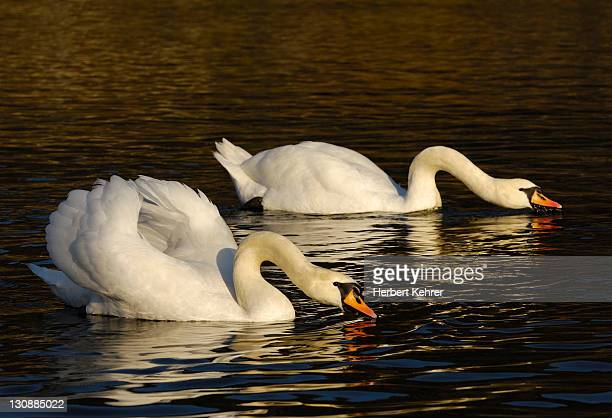 mute swans (cygnus olor) - vista lateral stock pictures, royalty-free photos & images