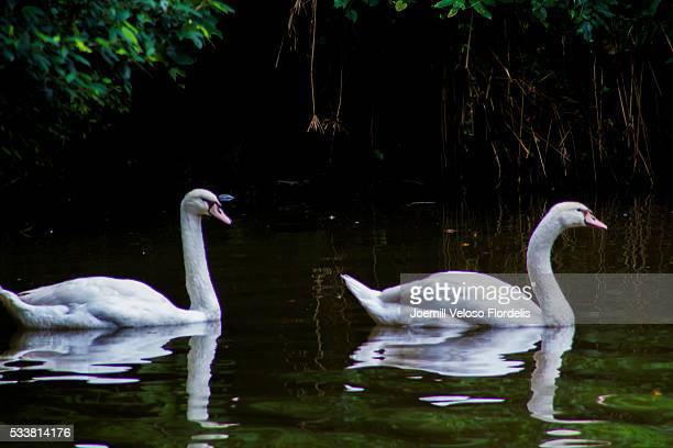 mute swans - joemill flordelis stock pictures, royalty-free photos & images