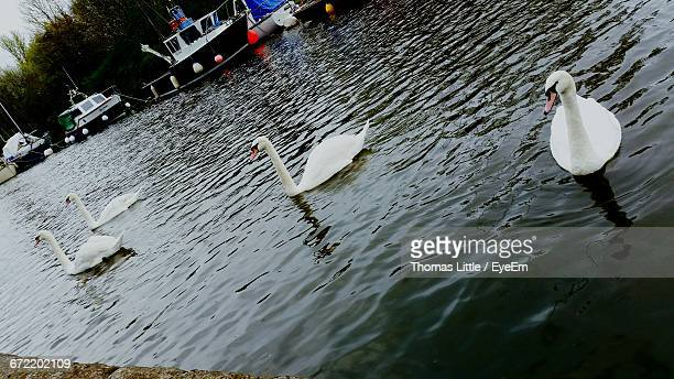 mute swans swimming in lake - widnes stock pictures, royalty-free photos & images