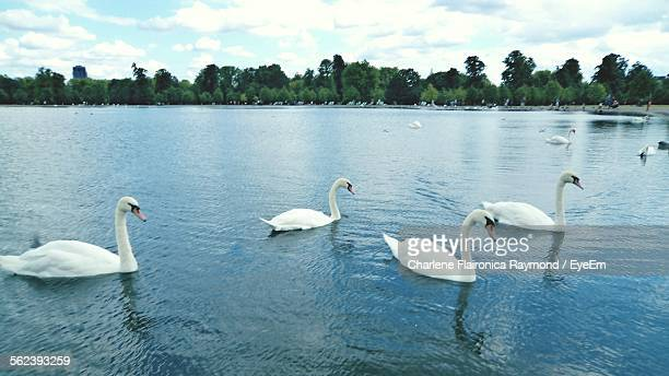 Mute Swans Swimming In Water