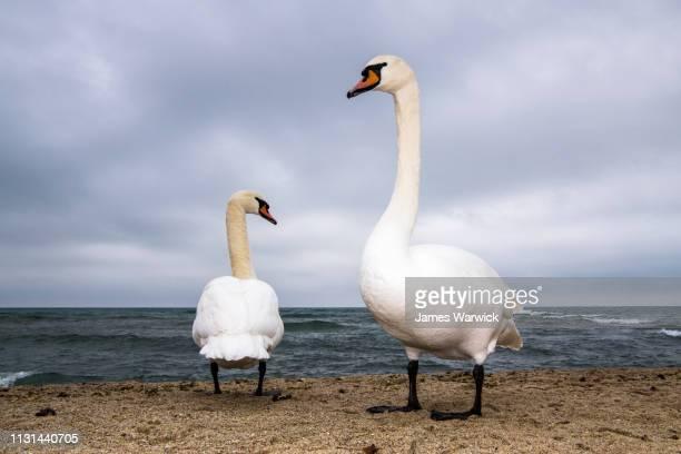 mute swans wintering on black sea coast - 海洋性の鳥 ストックフォトと画像
