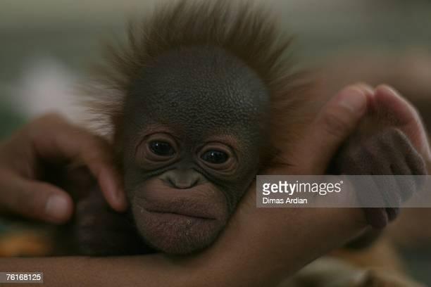 Muti an 11dayold female orangutan baby plays with keeper Sri Suwarni in a nursery at the Taman Safari conservation center on August 18 2007 in...