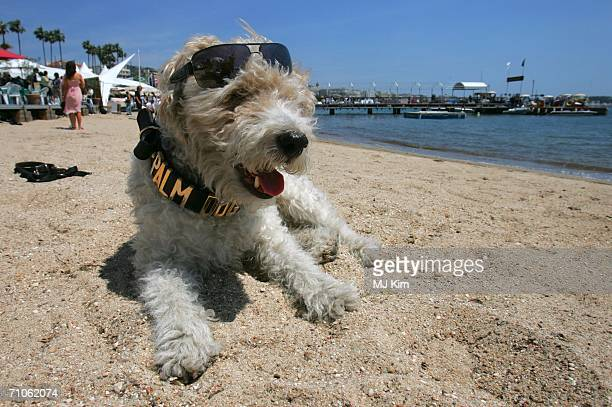 Mutley the President of the Palmdog Awards poses for a picture as he lies on the beach outside the Uk film pavilion during the 59th International...