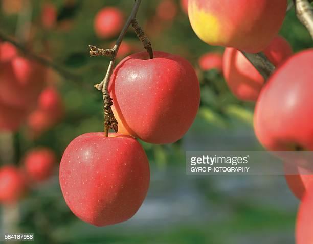 Mutsu Apple, Aomori Prefecture, Japan.