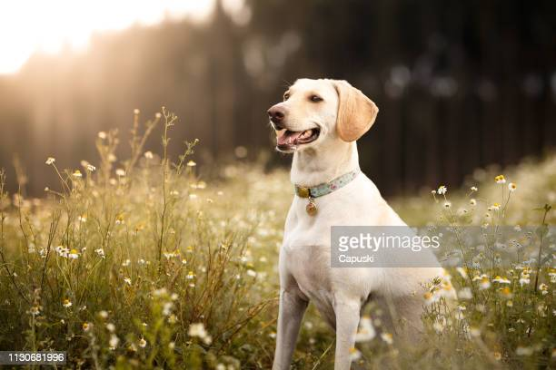 mutt dog smiling in the fields - labrador retriever stock pictures, royalty-free photos & images