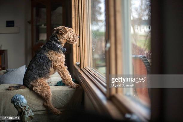 mutt staring out window - 見つめる ストックフォトと画像