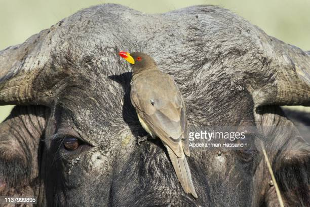 mutualistic relationship between oxpecker and cape buffalo. - symbiotic relationship stock pictures, royalty-free photos & images
