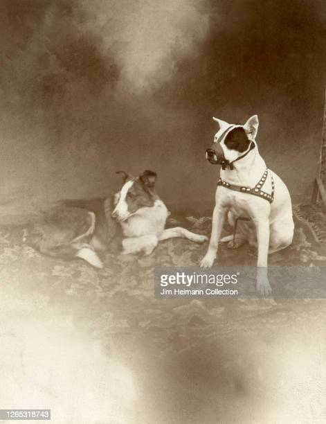Muzzled dog sits next to a reclining collie as they pose for a formal portrait, circa 1917.