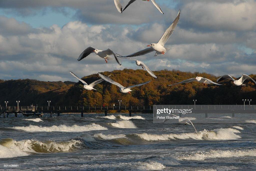 Möwen beim fliegen, Ostseebad Binz, Ostsee-Insel Rügen, Mecklenburg-Vorpommern, Deut : Nachrichtenfoto