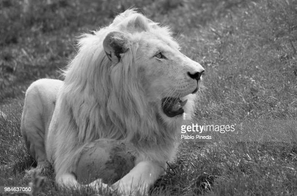 my ball!! - white lion stock photos and pictures