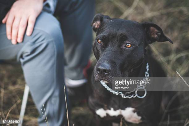 my cute pit bull dog - american pit bull terrier stock pictures, royalty-free photos & images