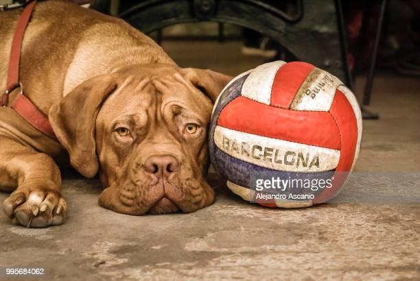 my dog loves barcelona's life style - alejandro ascanio fotografías e imágenes de stock