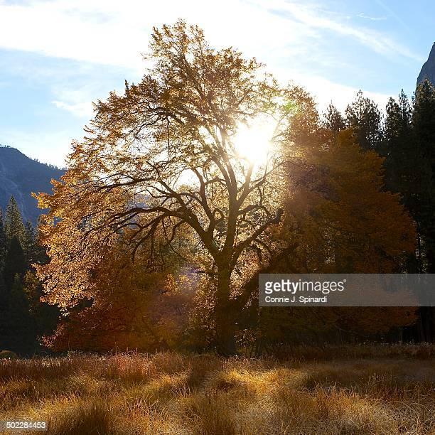 My favorite elm tree in the morning light