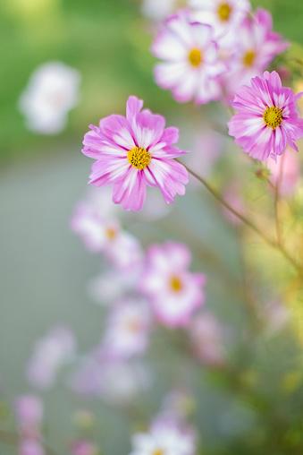 My Garden Cosmos Flowers - gettyimageskorea