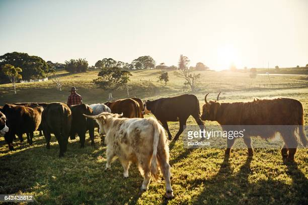 my herd is an extension of my family - cattle stock pictures, royalty-free photos & images