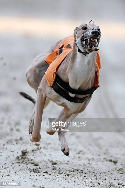 My Inspiration in action during the fourth race at the Coral Brighton Hove Greyhound Stadium on January 25 2017 in Brighton England