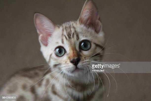 my little tiger - bengal cat stock pictures, royalty-free photos & images