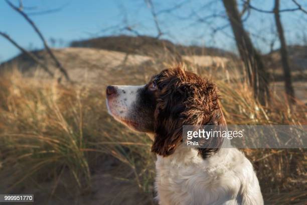 my vigilant companion - a walk at the dunes - springer spaniel stock pictures, royalty-free photos & images