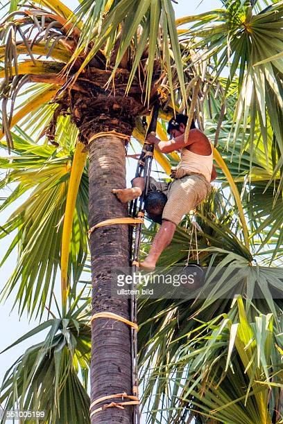 MMR Myanmar Burma Birma Palmzucker Plantage Aufnahmedatum2013 Asien Reise Reiseziel Torurismust