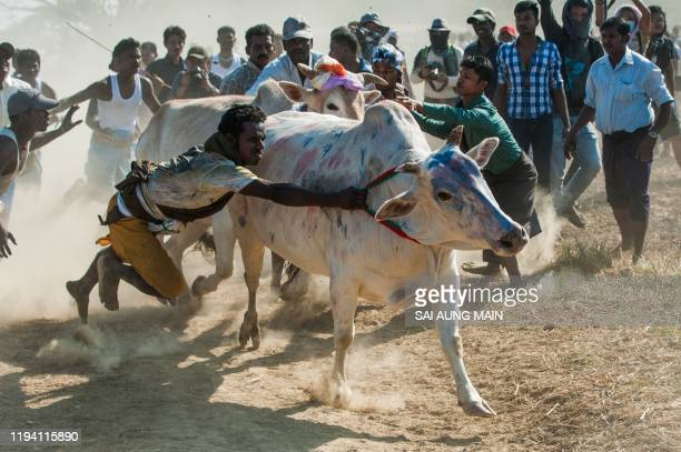 Myanmar Hindu devotees try to control a bull during the annual bull taming 'Jallikattu' festival in Kyauktan township in the outskirt of Yangon on...