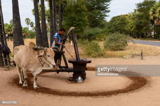 Myanmar Mandalay region Taungtha palm sugar and liquor production