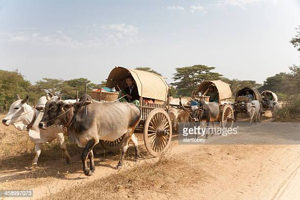 Myanmar: Oxcarts Traveling to New Year's Festival