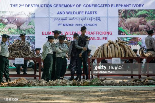 Myanmar police and forest rangers look at elephant ivory tusks and animal horns during a ceremony by authorities to destroy confiscated ivory and...
