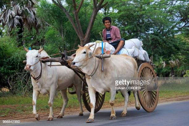 Myanmar province de Mandalay Bagan char à boeufs revanant des champs Myanmar Mandalay State Bagan oxen returning from the fields pulling a cart