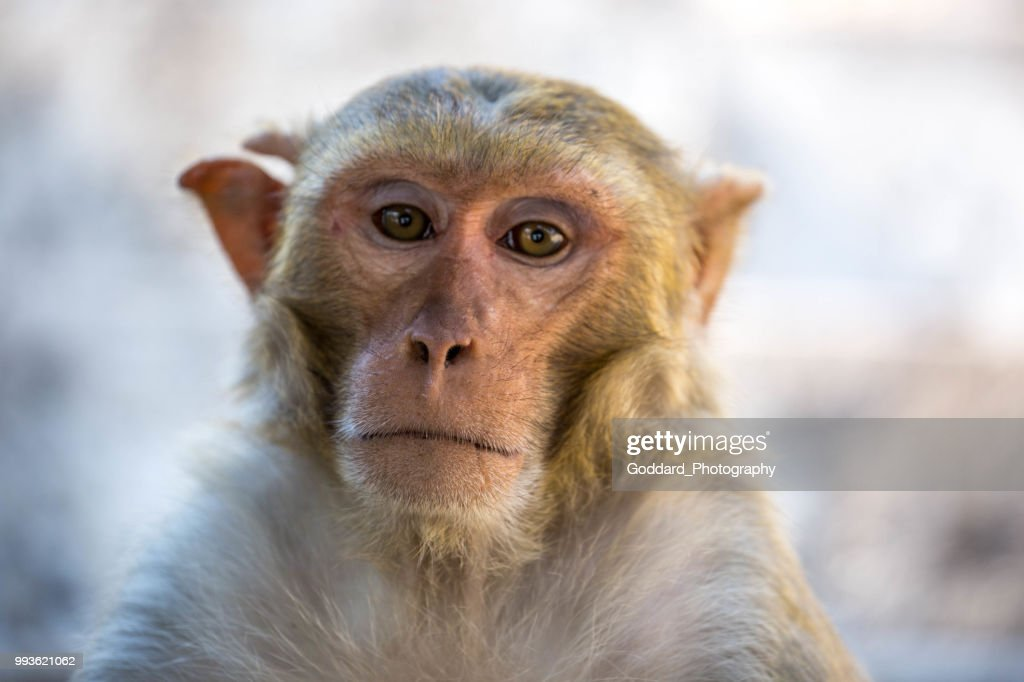 Myanmar: Rhesus Macaque : Stock Photo