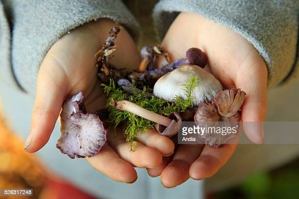 Mycology in the forest of Crecy October 2011 little girl holding several freshly collected mushrooms in her hands