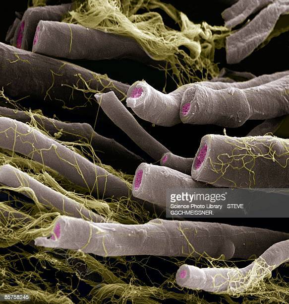 myelinated nerve fibers - sem stock pictures, royalty-free photos & images