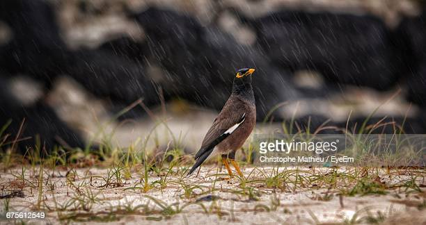 myna on field during rain - rainy season stock pictures, royalty-free photos & images