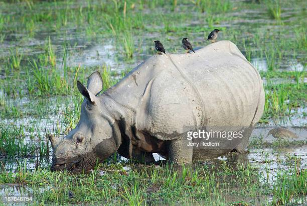 Mynah birds perch atop a rare Great Onehorned Rhinoceros as it feeds in a marsh in Kaziranga National Park The rhino is an endangered species as...